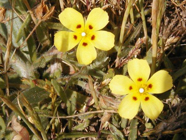 flowers of belle ile